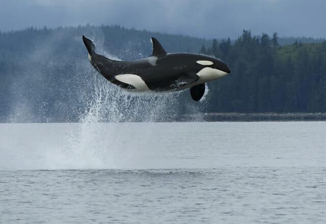 Walbeobachtung in British Columbia